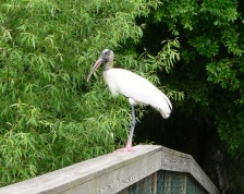 Wood Stork at S. Lake Howard Nature Park