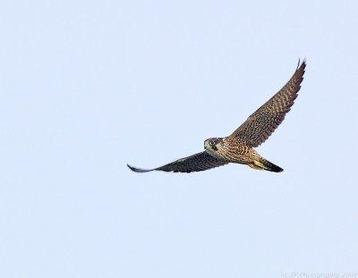 Peregine Falcon by Jim Fenton