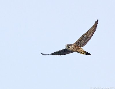 Peregine Falcon by Jim Fenton