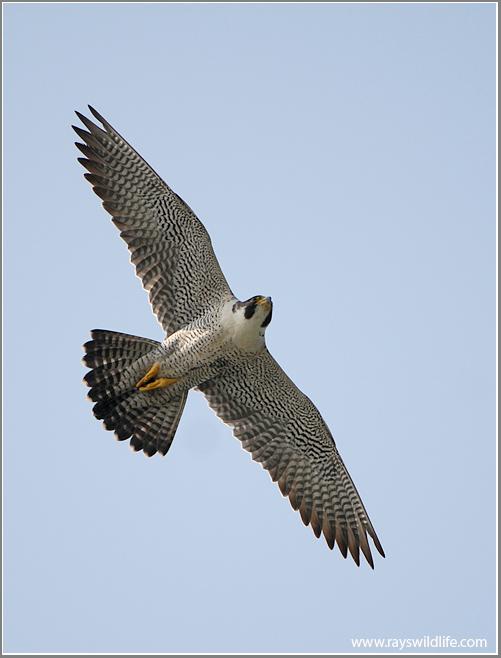 Peregrine Falcon Wingspan Peregrine Falcon