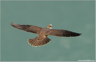 Peregrine Falcon In Flight by Raymond Barlow