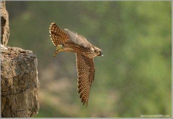 Peregrine Falcon Lift Off Into The Mist