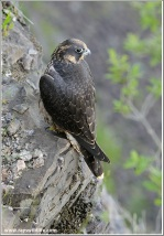 Peregrine Falcon On The Edge