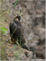 Young Peregrine Falcon on a Cliff