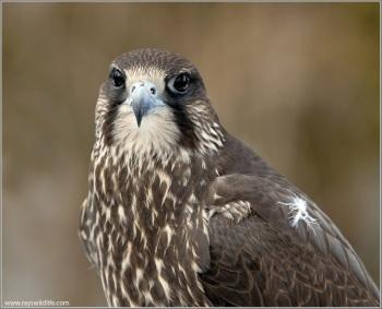 Peregrine Falcon (Falco peregrinus) by Ray