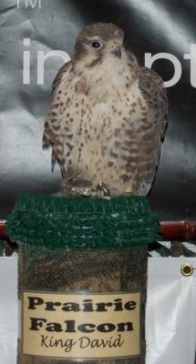 Prairie Falcon by Dan