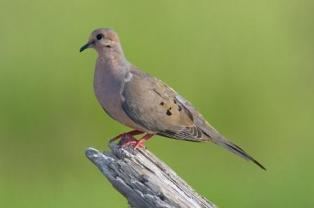 Mourning Dove by Reinier Munguia