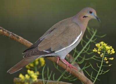White-winged Dove by Reinier
