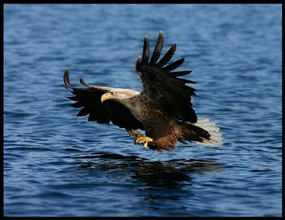 An eagle fishing