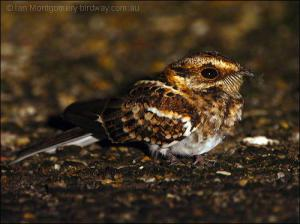 White-tailed Nightjar by Ian Montgomery