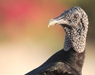 Black Vulture from Wikipedia