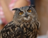 Great Horned Owl by Phil Kwong Galleries