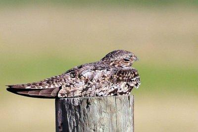 Common Nighthawk by Neal Addy
