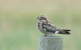 Scripture Alphabet of Animals: TheNight-Hawk