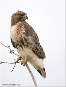 Red-tailed Hawk by Ray's Wildlife