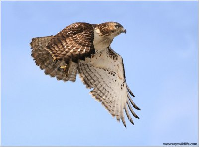 Red-tailed Hawk (Buteo jamaicensis) by Raymond Barlow