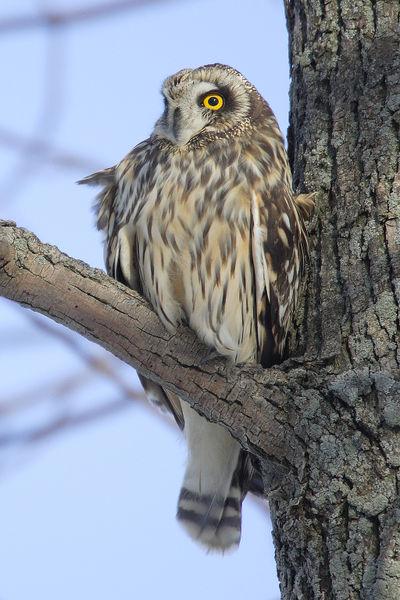 Short-eared Owl ©WikiC