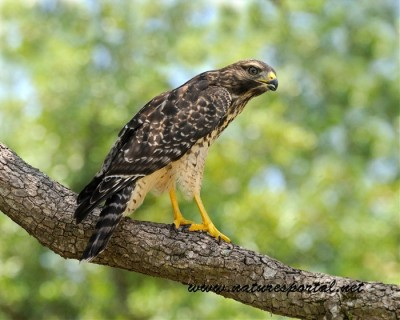 Hawk by Flygirl