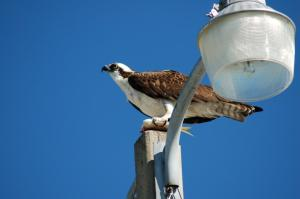 Osprey Eating Lunch in Titusville 2