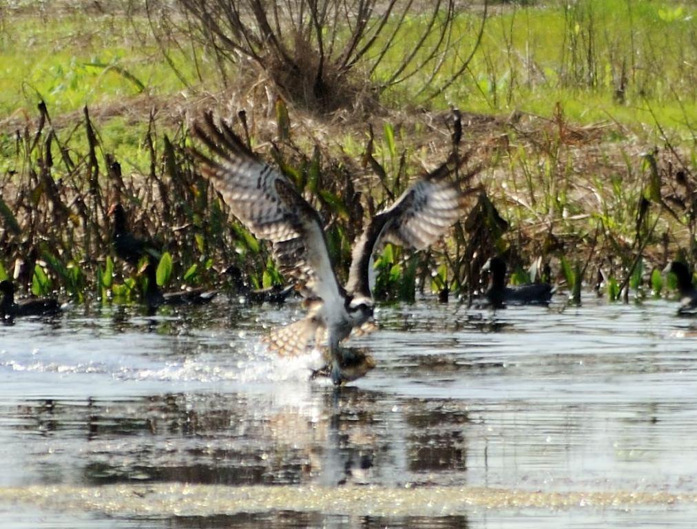 Osprey Catching Fish - Viera Wetlands