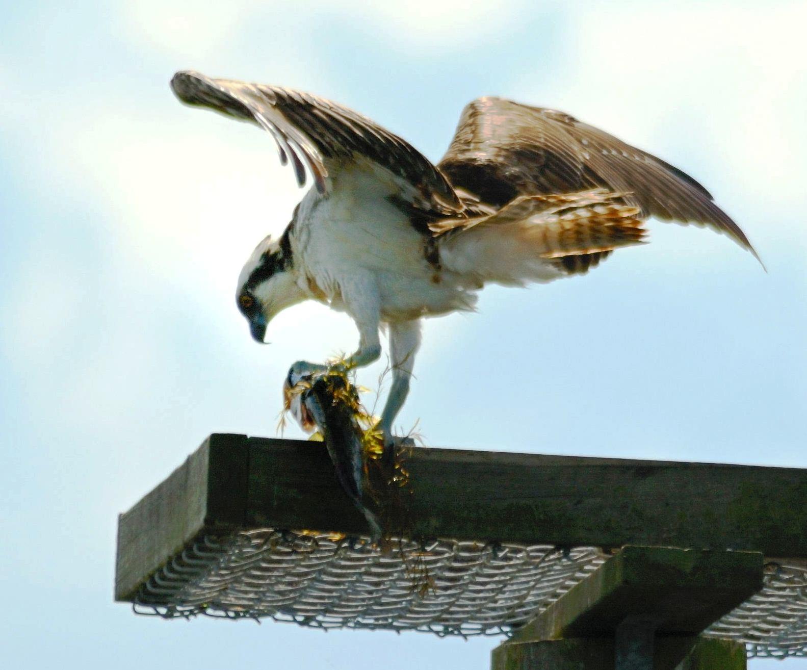 Osprey Eating Fish by Dan