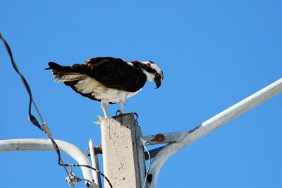 Osprey Eating Lunch in Titusville