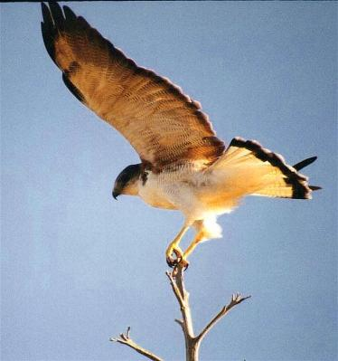 Red-backed Hawk - Argentina