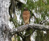 Red-shouldered Hawk (Buteo lineatus) by Dan