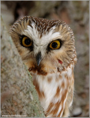 Saw-whet Owl by Ray