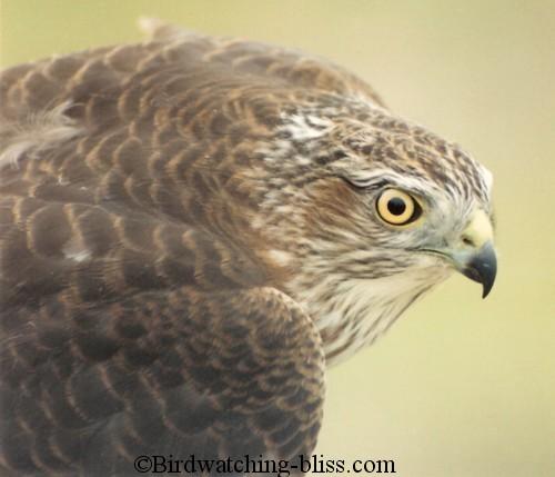 Bird of the Bible - Hawks (3/4)
