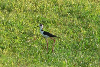Black-necked Stilt at Circle B Bar Reserve