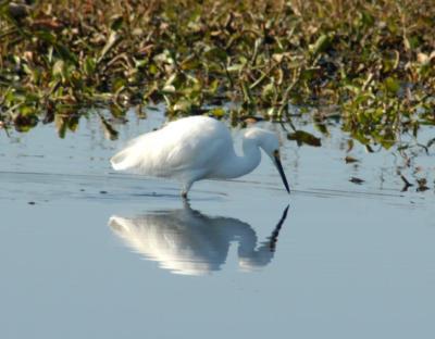 Snowy Egret Reflected