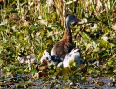 Black-bellied Whistling Duck and Babies