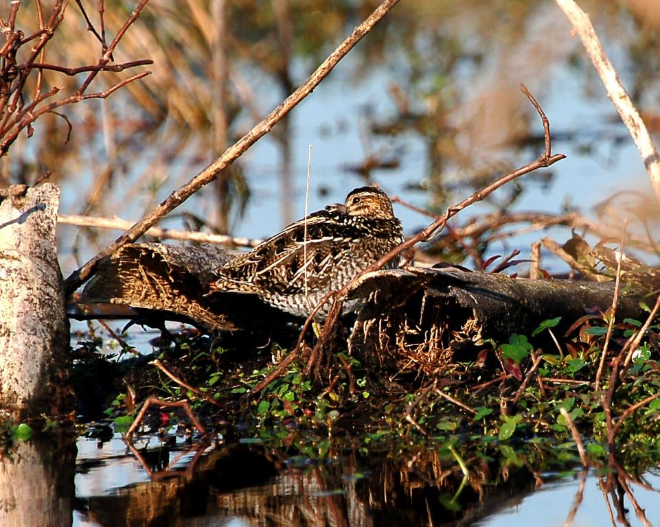 Wilson's Snipe (Gallinago delicata) at Circle B by Dan