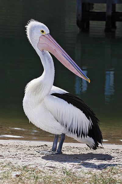 400px-pelican_lakes_entrance02-australian-pelican.jpg