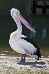 Australian Pelican (Pelecanus conspicillatus) ©WikiC