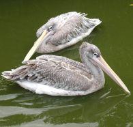 Pink-backed Pelican (Pelecanus rufescens) ©WikiC