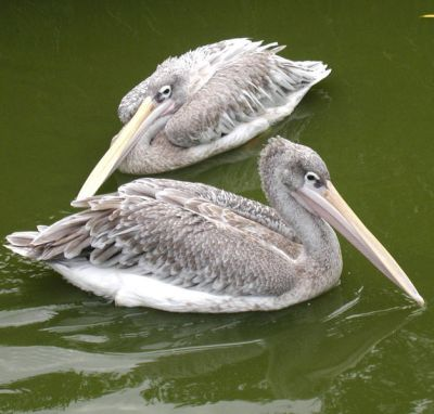 Pink-Backed Pelicans