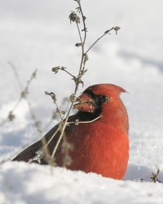 Cardinal by Aestheticphotos