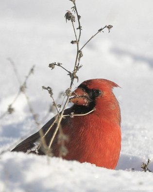 Northern Cardinal by Aestheticphotos