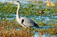 Great Blue Heron at Circle B Bar Reserve