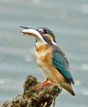 Common Kingfisher (Alcedo atthis) by Phil Kwong