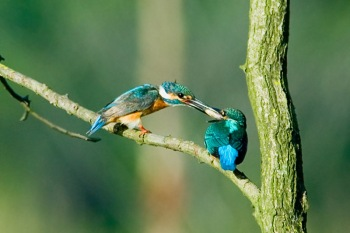 Kingfisher Feeding Young by Phil Kwong
