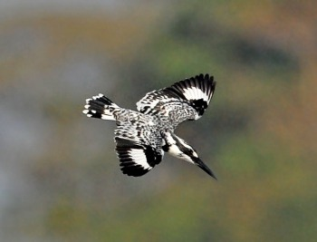 Pied Kingfisher (Ceryle rudis) by-Phil Kwong