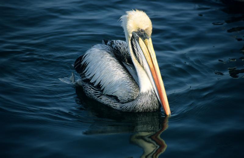 Peruvian Pelican (Pelecanus thagus) ©WikiC