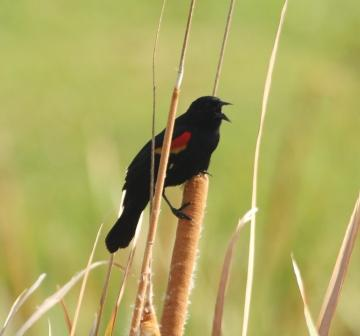 Red-winged Blackbird at Bok Sanctuary