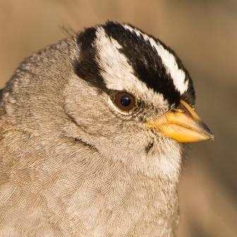 White-crowned Sparrow ©WikiC