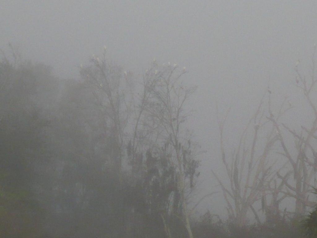 Wood Storks in Trees in Fog at Circle B