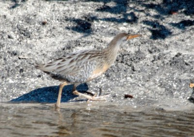 Clappper Rail at Merritt Is. NWR