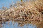 Wilson's Snipe - Merritt Is. NWR by Dan